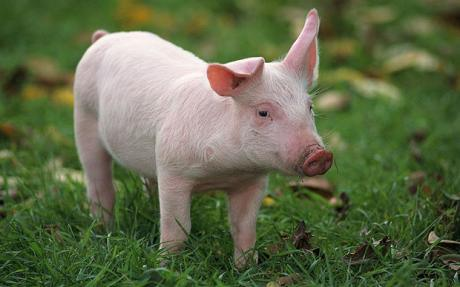 pig-grass
