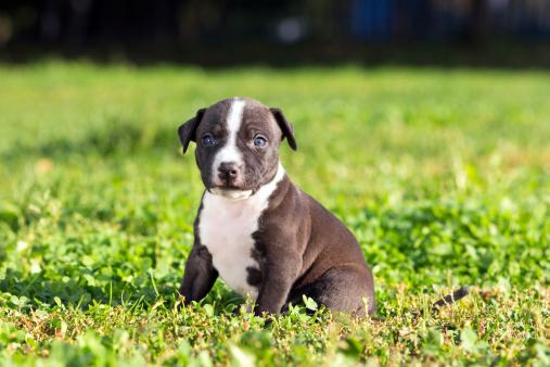American Staffordshire terrier puppy